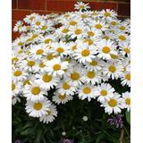 Cottage Farms Direct Outdoor Pre-Planted Plants - 'White Mountain Shasta' Daisy - Set of Three