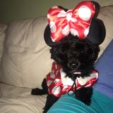 Disney Other   Minnie Dog Halloween Costume   Color: Red/White   Size: Os