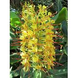 Regal Kahili Yellow Ginger Hedychium gardnerianum Roots and Plants Kanoa Hawaii (1 Pack Roots)