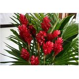 Red Hawaiian Ginger Alpinia Purpurata Roots and Plants Kanoa Hawaii (1 Pack (2 Roots))