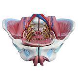 Izzya Female Pelvis Model - Female Genital Anatomical Model - Uterus Anatomy Model, with Genital Blood Vessel Neuromuscular, Medical/School Professional Teaching Instruments