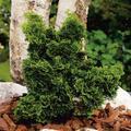 Zwerg-Muschel-Zypresse, im ca. 17 cm-Topf