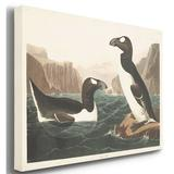 Gracie Oaks 'Pl 341 Great Auk' - Wrapped Canvas Print Canvas & Fabric in Black/Blue/Brown, Size 8.0 H x 12.0 W x 1.5 D in | Wayfair