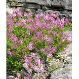 Roberta's Gardens Outdoor Pre-Planted Plants Baby - Live Baby Summer Lilac Plant
