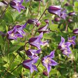 Clematis Prince William