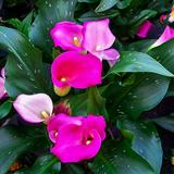 Calla Lily Bulbs are Perennial Stout Herb,Often Used to Make Bouquets,Flower Baskets,Garlands and Vases,Pink,15 Bulbs