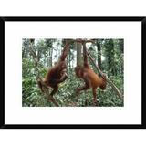 Global Gallery Orangutan Pair Playing - Picture Frame Photograph Print on Paper Paper in Brown/Green, Size 18.0 H x 1.5 D in | Wayfair