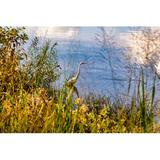Latitude Run® Great Egret Fishing in Autumn 2 by Beth Sheridan - Picture Frame Photograph Print on Paper Paper in White   Wayfair