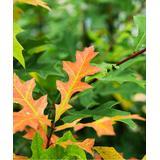 Perfect Plants Outdoor Pre-Planted Plants - Live Nuttal Oak Tree