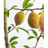 Perfect Plants Trees - Live Belle Of Georgia Peach Tree