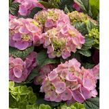 Cottage Farms Direct Outdoor Pre-Planted Plants - Live 'Endless Summer BloomStruck' Hydrangea Plant