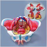 ALIANG Female Pelvic Model Medical Anatomical Pelvic Model with Genital Blood Vessel Neuromuscular Uterus Anatomy Model,Medical Models