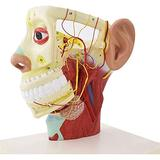 ALIANG Human Head Model Human Anatomical Half Head Face Anatomy Brain Neck Median Section Model Nerve Blood Vessel for Studying Teaching Model,Medical Models