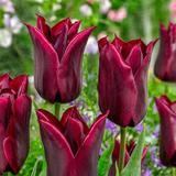 Lasting Love Tulip