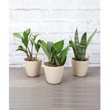 Thorsen's Greenhouse Indoor Pre-Planted Plants natural - Live Three-Piece Modern Houseplant Set