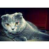 1000 Piece Puzzle/Scottish fold cat(50x75cm)Game Wooden Puzzles Toy Gift for Home Wall Decoration Puzzle Floor Puzzle