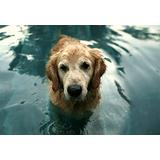 Puzzles for Adults 1000 Piece/Golden Retriever Dog Animal Water(50x75cm)Puzzle Games, Educational Games, Brain Challenge Puzzles for Adults