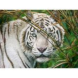 Puzzles for Adults 1000 Piece  White Tiger Animal(50x75cm)Puzzle Games, Educational Games, Brain Challenge Puzzles for Adults