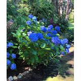 Roberta's Gardens Outdoor Pre-Planted Plants blue - Early Blue Hydrangea Plant
