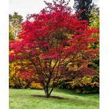 Perfect Plants Trees - Live Japanese Maple Tree Plant