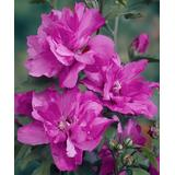 Seedling & Sprout Plant Bulbs - Live 'Raspberry Smoothie' Rose of Sharon Hibiscus Tree