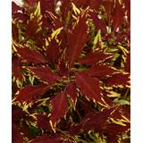Cottage Farms Direct Outdoor Pre-Planted Plants - Coleus 'FlameThrower Sriracha' - Set of Three