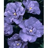 Cottage Farms Direct Plant Bulbs - Live 'Blueberry Smoothie' Rose of Sharon Hibiscus