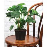Thorsen's Greenhouse Outdoor Pre-Planted Plants green - Live Philodendron Hope Plant