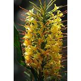 Kahili Yellow Regal Hawaiian Kahili Ginger Root 1 Pk Root Aprox. 1 to 3 inches #C1