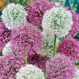 Giant White & Purple Allium Mix - Super Bag - 15 Bulbs