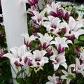 Tulpen-Clematis Princess Kate, im ca. 17 cm-Topf