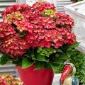 Garten-Hortensie Ruby Tuesday®, im ca. 15 cm-Topf