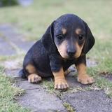 Hi-Line Gift Ltd. Dachshund Puppy Statue Resin/Plastic in Black/Brown, Size 6.0 H x 4.5 W x 7.5 D in | Wayfair 87771-11