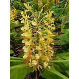 Hawaiian Live Yellow Kahili Ginger Plant Root Hedychium Gardnerianum Plant Root 1 Pk Z5