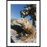 Global Gallery Galapagos Land Iguana Basking, Galapagos Islands, Ecuador by Tui De Roy - Picture Frame Photograph Print on Paper Paper | Wayfair