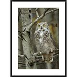 Global Gallery Great Horned Owl Pale Form, Perched in Tree, Alberta, Canada by Tim Fitzharris - Picture Frame Photographic Print on Paper Paper