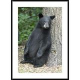 Global Gallery Bear Cub Leaning Against Tree, Orr, Minnesota by Matthias Breiter - Picture Frame Photograph Print on Paper Paper in Black/Brown/Gray