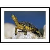 Global Gallery 'Bellied Slider Turtle, Portrait, on Rock, North America' by Tim Fitzharris - Picture Frame Photographic Print on Paper Paper Wayfair