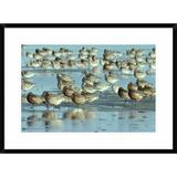Global Gallery Black-Tailed Godwit Flock Resting - Picture Frame Photograph Print on Paper Paper in Blue/Brown, Size 22.0 H x 30.0 W x 1.5 D in