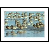 Global Gallery Black-Tailed Godwit Flock Resting - Picture Frame Photograph Print on Paper Paper in Blue/Brown, Size 30.0 H x 42.0 W x 1.5 D in