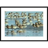 Global Gallery Black-Tailed Godwit Flock Resting - Picture Frame Photograph Print on Paper Paper in White, Size 26.0 H x 36.0 W x 1.5 D in | Wayfair