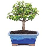 """Brussel's Live Dwarf Jade Indoor Bonsai Tree - 5 Years Old; 6"""" to 8"""" Tall with Decorative Container"""
