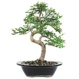 """Brussel's Live Chinese Elm Outdoor Bonsai Tree - 7 Years Old; 8"""" to 10"""" Tall with Decorative Container"""