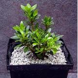 Chinese Dwarf Azalea (True Bonsai Plant) - For Indoors or Out