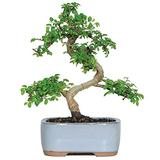 """Brussel's Live Chinese Elm Outdoor Bonsai Tree - 5 Years Old; 6"""" to 8"""" Tall with Decorative Container"""