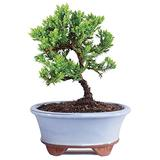 """Brussel's Live Green Mound Juniper Outdoor Bonsai Tree - 3 Years Old; 4"""" to 6"""" Tall with Decorative Container - Not Sold in California"""