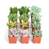 Shop Succulents Succulents - Assorted Succulent - Set of 12
