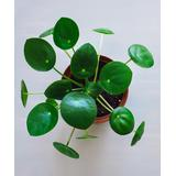 Cottage Farms Direct Indoor Pre-Planted Plants - Live Pilea 'Chinese Money' Plant