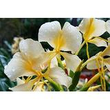 Hawaiian Exotic Flower Plant Roots - Bamboo Orchids - Hibiscus - Ginger -Ti Logs (White Ginger Root)