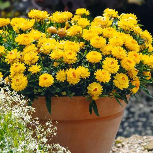 Gelbe Strohblume, im ca. 12 cm Topf